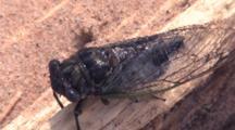 Cicada Resting On Driftwood