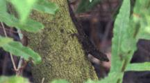 Anole Watching Another From Moss Covered Branch, Jumps Off Frame