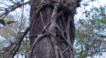 Strangler Fig Wrapped Around Cypress Tree