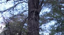 Strangler Fig Wrapped Around Cypress Tree, Zo To Wa