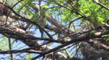 Tufted Titmouse In Cypress Tree, Singing, Exits