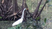 Great Egret Standing Among Cypress Boles, Roots, Fishing In Swamp