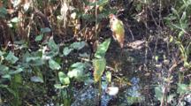 White Ibis Trio Feeding In Florida Cypress Swamp
