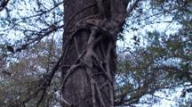 Strangler Fig On Cypress Tree