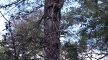 Strangler Fig On Cypress Tree, Zi