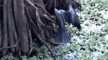 Anhinga Crawls From Swamp Onto Cypress Bole