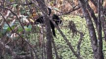 Anhinga Climbs Higher Into Cypress Tree, Flys To Branch, Fluffs Wet Feathers
