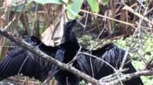 Anhinga Drying Wings, Balancing On Branch Above Cypress Swamp