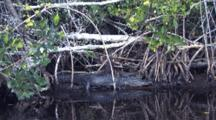 Alligator Lying On Bank In Cypress Swamp, Florida Everglades
