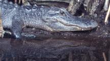 Florida Alligator And Reflection, Zo To Alligator Lying On Bank Of Cypress Swamp