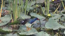 Purple Gallinule Standing On Lily Pad, Exits