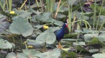 Purple Gallinule Feeding Among Lily Pads, Exits, Walking Across Top Of Water Plants