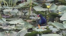 Purple Gallinule Walking Across Water Lilies, Stands, Looks Around At Water Beneath