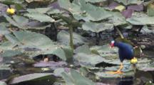 Purple Gallinule Walking, Skipping, Flapping Across Top Of Lily Pads