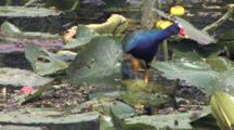 Purple Gallinule Standing On Lily Pad, Peering Into Water, Searching For Food Among Water Plants