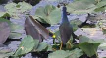 Purple Gallinule Standing On Lily Pads, Breeze Blowing Lily Pads