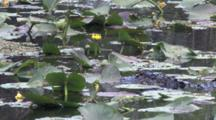 Alligator Lying Hidden Among Lily Pads In Swamp, Watching Birds