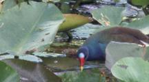 Purple Gallinule Walking Among Lily Pads, Feeding, Exits