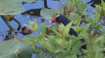 Purple Gallinule Ducks Quickly Behind Cover Of Greenery In Swamp, Exits