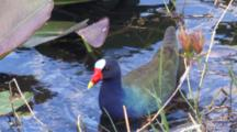 Purple Gallinule Hunting Snails In Shallow Water Of Swamp