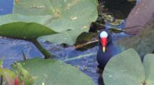 Purple Gallinule Hunting, Tearing Into Stalk Of Lily Pad