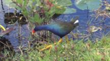 Purple Gallinule Wading In Shallow Water, Hunting Snails In Swamp