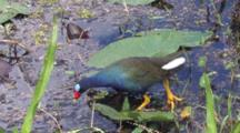 Purple Gallinule Hunting In Shallow Water Of Swamp, Exits