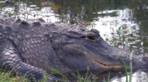 Close Up Alligator Face, Zoom To Snowy Egret Stalking Past, Captures Prey, Eats, Exits