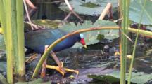 Purple Gallinule Moving Across Lily Pads To Feed At Plant Stem