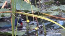 Purple Gallinule Wrestling With Snail Attached To Plant Stem In Water