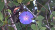 Morning Glory, Vine, Insects Crawling On Flower Petals