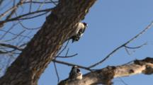 Hairy Woodpeckers, In Tree, One Hanging Above Other, Exits