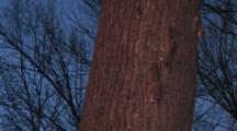 Northern Flying Squirrels Moving Down Tree At Dusk