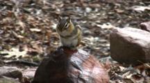 Eastern Chipmunk On Rock, Sitting Upright