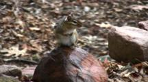 Eastern Chipmunk On Rock, Sitting Upright, Looking To Right