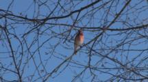 Purple Finch In Tree, Wipes Beak, Turns Back To Camera