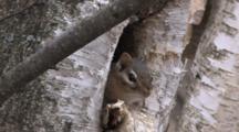 Eastern Chipmunk In Hole In Birch Tree, Blinks
