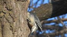 Red-Bellied Woodpecker, Cleaning Out Hole In Tree, Looking For Food