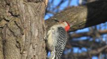 Red-Bellied Woodpecker Pulls Grub From Tree Hole And Feeds
