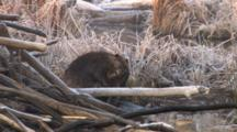 Beaver Sitting By Lodge, Grooming, Another Enters, 1st Exits