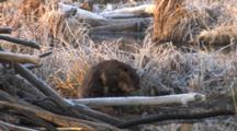 Beaver Sitting By Lodge, Grooming Fur