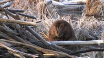 Large Beaver Sitting By Lodge, Grooming Belly With Both Front Feet