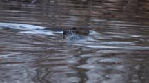 Young Beavers Interacting, One Comes Up Beneath Other, Plays