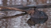 American Beaver Sitting Quietly In Pond, Reflection