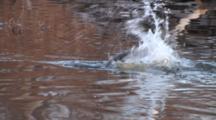 American Beaver Slaps Tail, Re-Emerges, Swims Toward Camera