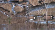 Blue-Winged Teal Ducks, Drakes Enter, Exit, Pond Reflection