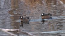 Blue-Winged Teal Ducks, Drakes Aggressive, Beaver Swims By