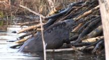 American Beaver Working, Zoom, Trying To Get Stick Onto Lodge Wall