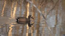 Blue-Winged Teal Duck Drake, Swims, Exits, Beaver Emerges