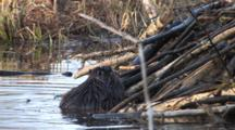 American Beaver Working On Lodge, Places Stick, Turns, Exits